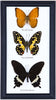 Three Assorted Butterflies - Real Butterflies Framed - Natural History Direct Online Shop - 3