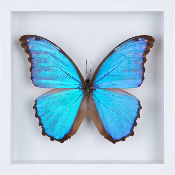 The Giant Blue Morpho Butterfly - Framed Butterfly - See Through Glass Frame - Natural History Direct Online Shop - 1