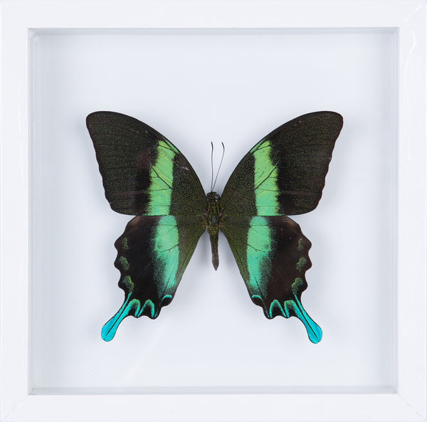 The Green Swallowtail Butterfly - Framed Butterfly - See Through Glass Frame - Natural History Direct Online Shop - 1