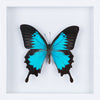 The Blue Swallowtail Butterfly - Framed Butterfly - See Through Glass Frame - Natural History Direct Online Shop - 1