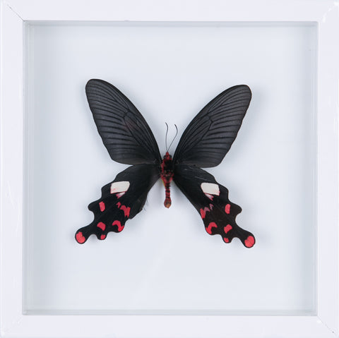 The Common Windmill Butterfly - Framed Butterfly - See Through Glass Frame - Natural History Direct Online Shop