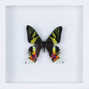 The Madagascan Sunset Moth - Framed Day Moth - See Through Glass Frame - Natural History Direct Online Shop - 1