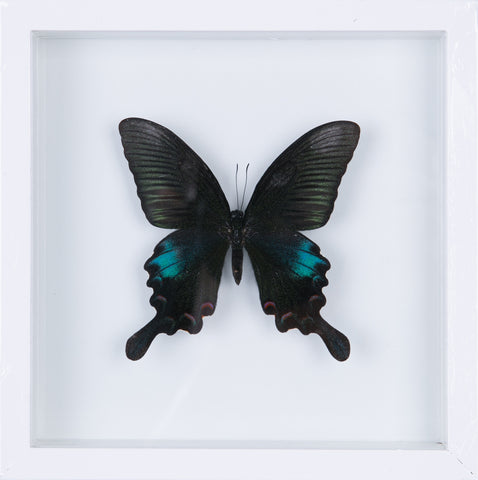 The Common Peacock Butterfly - Framed Butterfly - See Through Glass Frame - Natural History Direct Online Shop - 1