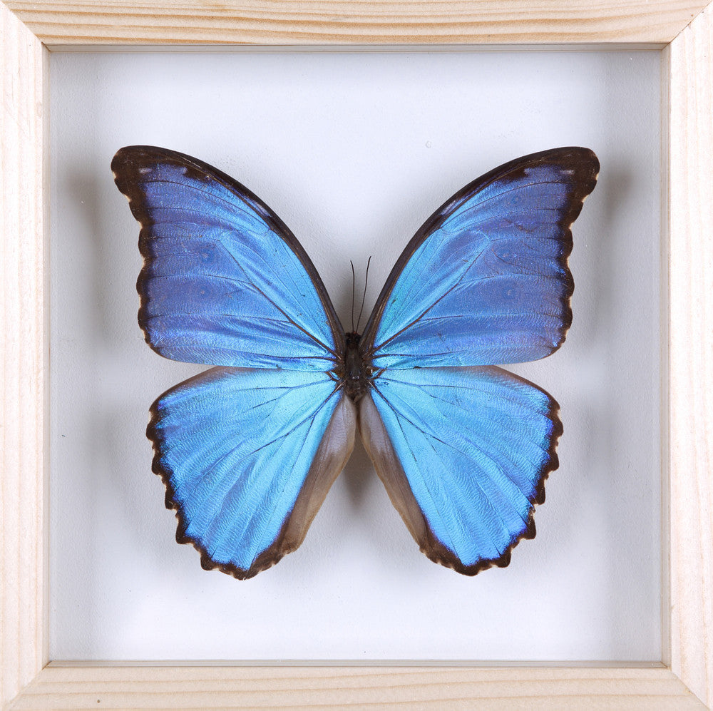 Captivating ... The Giant Blue Morpho Butterfly   Framed Butterfly   See Through Glass  Frame   Natural History ...