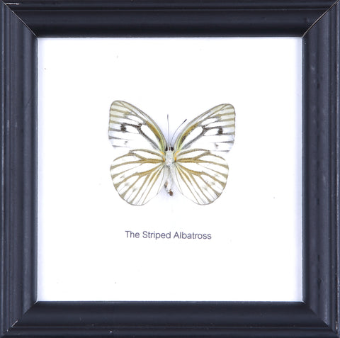 The Striped Albatross - Real Butterfly Framed - Natural History Direct Online Shop