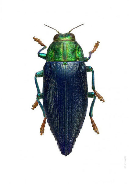 LILJEBERGS UNIQUE INSECT PRINTS | Galaeus walkeri - Natural History Direct Online Shop - 1