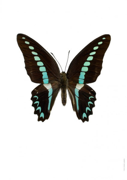 LILJEBERGS UNIQUE INSECT PRINTS | Graphium sarpedon - Natural History Direct Online Shop - 1