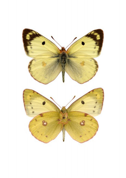 LILJEBERGS UNIQUE INSECT PRINTS | Pieridae yellow - Natural History Direct Online Shop - 1