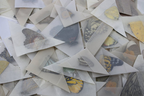 Unmounted Assorted Dried Butterflies