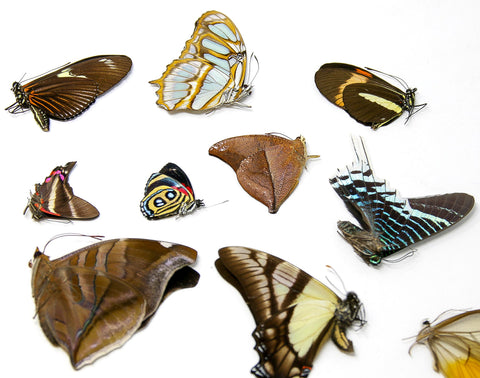 Mixed Lot of Dry-preserved Butterflies | Lepidoptera Specimens | Assorted Species Unmounted and Papered