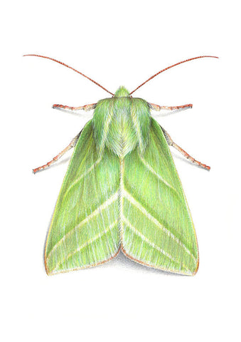 Green Silver Lines Moth - Pseudoips prasinana A4 limited edition archival print