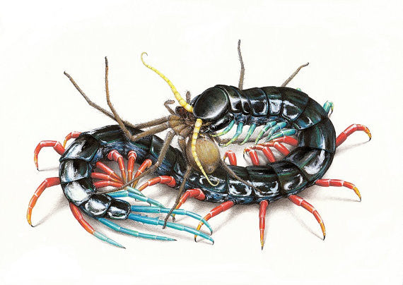 Scolopendra 'Malaysian Jewel' A4 limited edition art print