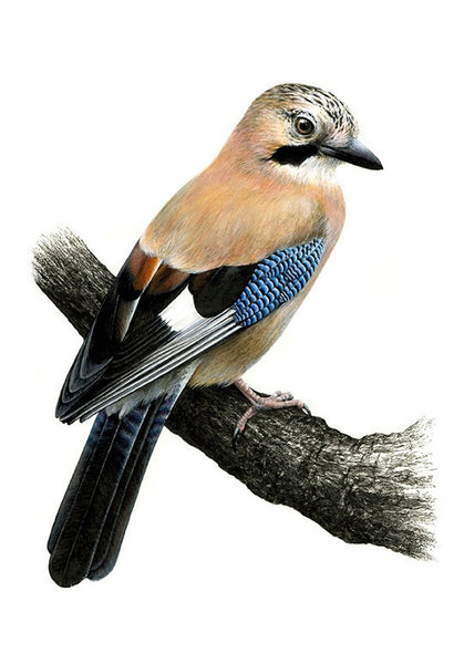 Jay - Garrulus glandarius A4 limited edition art print - Natural History Direct Online Shop