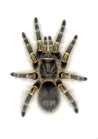 Grammostola pulchripes A4 limited edition archival print