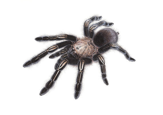 ORIGINAL Artwork - Ephebopus murinus
