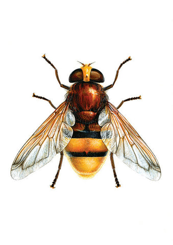 ORIGINAL Artwork - Volucella zonaria