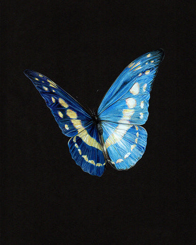 Morpho cypris - Limited Edition Archival print 10 x 8""
