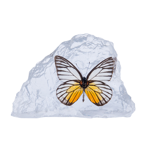 Jezebel Butterfly Paperweight - Natural History Direct Online Shop - 1