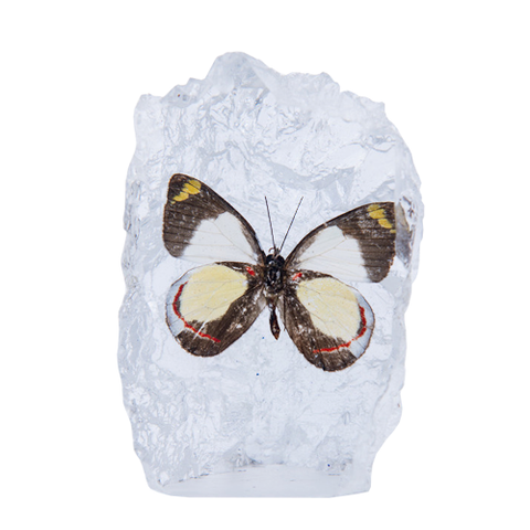Delias Butterfly Paperweight - Natural History Direct Online Shop - 1