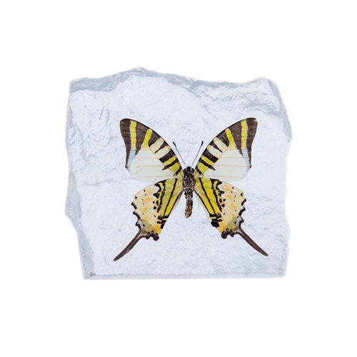 Swordtail Butterfly Paperweight - Natural History Direct Online Shop - 1