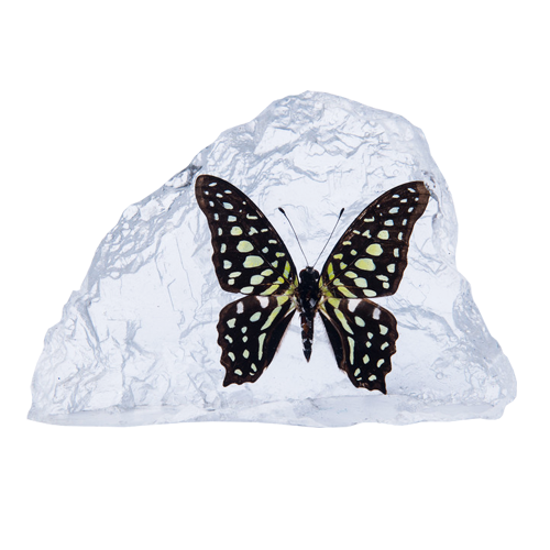 Tailed Jay Butterfly Paperweight - Natural History Direct Online Shop - 1
