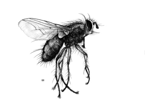 Art of Carim Nahaboo | Tachinid fly | Artist Signed Print t A3 - Natural History Direct Online Shop