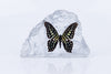 Tailed Jay Butterfly Paperweight - Natural History Direct Online Shop - 2