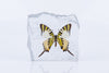 Swordtail Butterfly Paperweight - Natural History Direct Online Shop - 2