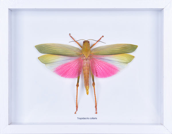 Framed Giant Grasshopper #1 | Entomology Frame - Natural History Direct Online Shop