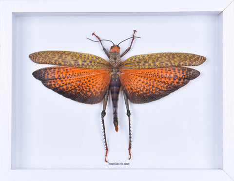 Framed Giant Grasshopper #2 | Entomology Frame - Natural History Direct Online Shop