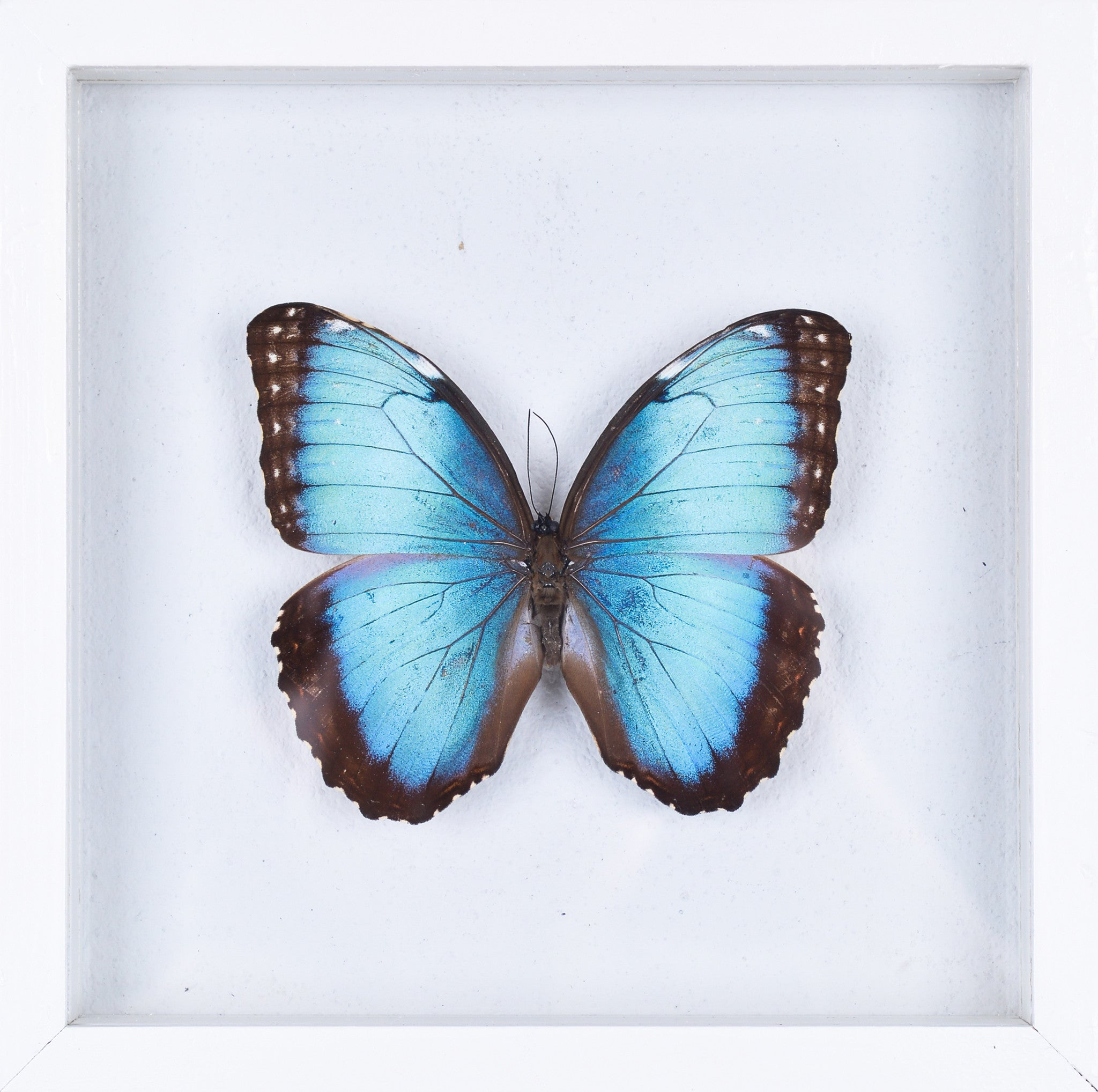 the achilles morpho butterfly framed butterfly see through glass frame natural history direct