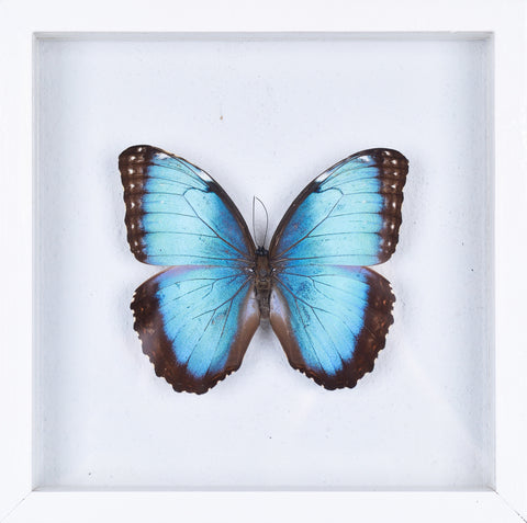 The Achilles Morpho Butterfly - Framed Butterfly - See Through Glass Frame - Natural History Direct Online Shop - 1