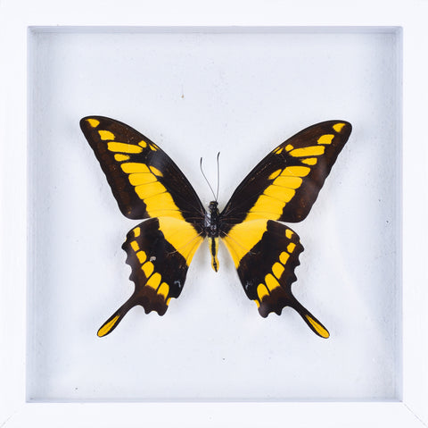 The King Swallowtail Butterfly - Framed Butterfly - See Through Glass Frame - Natural History Direct Online Shop