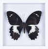 Papilio gambrisius - Framed Butterfly - Natural History Direct Online Shop