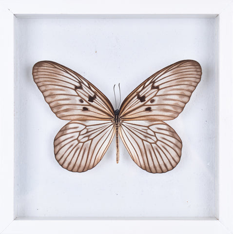 The Siam Tree-Nymph Butterfly - Framed Butterfly - See Through Glass Frame - Natural History Direct Online Shop - 1