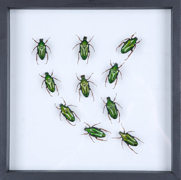 Entomology Insect Art | Beetle Collection Taxidermy Frame - F006 - Natural History Direct Online Shop - 1
