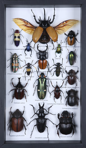 Entomology Insect Frame | Beetle Collection Taxidermy Frame-f010  - Natural History Direct Online Shop - 1