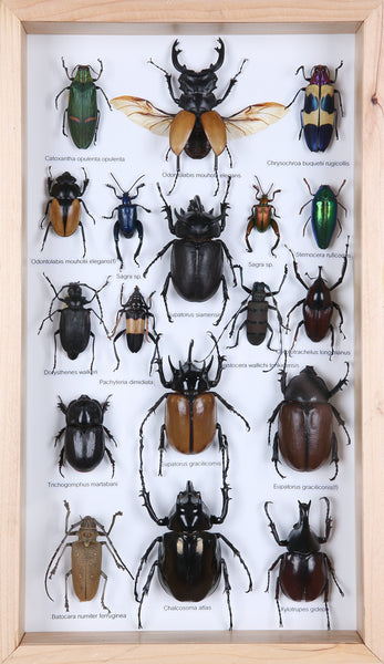 Entomology Insect Frame | Beetle Collection Taxidermy Frame-f014 - Natural History Direct Online Shop - 1