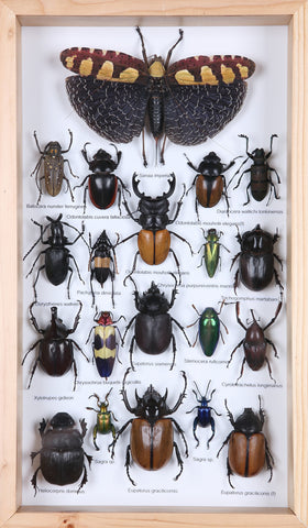 Entomology Insect Frame | Beetle Collection Taxidermy Frame - Natural History Direct Online Shop - 1