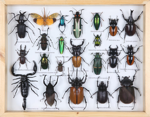 Entomology Insect Frame | Beetle Collection Taxidermy Frame-F018 - Natural History Direct Online Shop - 1
