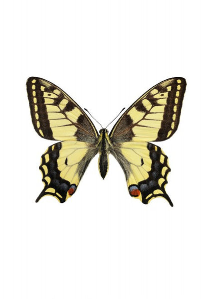 Unique Prints by Swedish photographer Göran Liljeberg | Papilio machaon - Natural History Direct Online Shop - 1