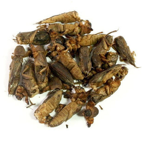 Edible Mole Crickets 5g