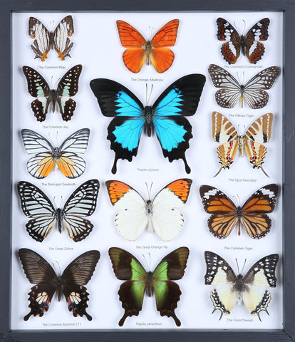 Entomology Butterfly Frame | Butterfly Collection Taxidermy frame-11-f006 - Natural History Direct Online Shop - 1