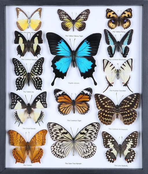 Entomology Butterfly Frame | Butterfly Collection Taxidermy frame-11-f009 - Natural History Direct Online Shop - 1