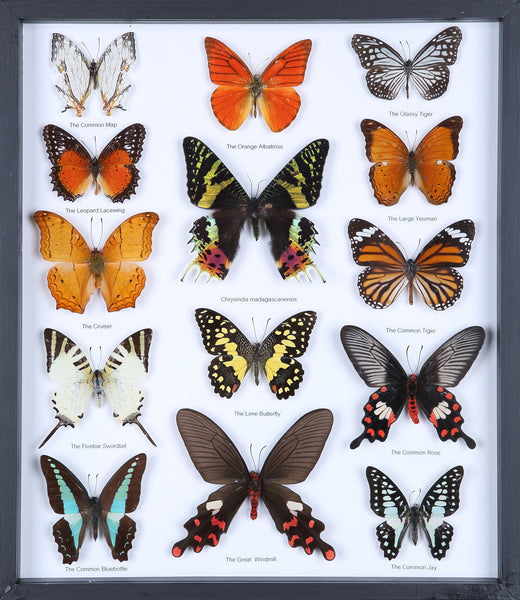 Entomology Butterfly Frame | Butterfly Collection Taxidermy frame-11-f012 - Natural History Direct Online Shop - 1