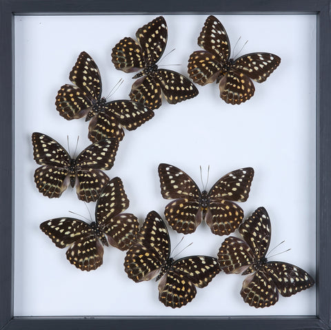 Natural Butterflies Mounted in a Glass Frame | No.11-F005 - Natural History Direct Online Shop
