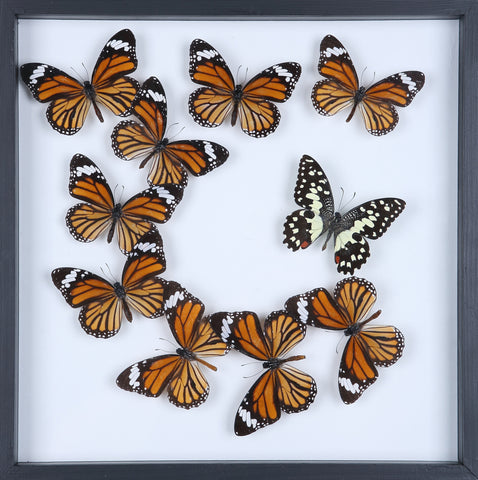 Natural Butterflies Mounted in a Glass Frame | No.11-F007 - Natural History Direct Online Shop