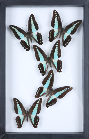 Natural Butterflies Mounted in a Glass Frame | No.11-F010 - Natural History Direct Online Shop