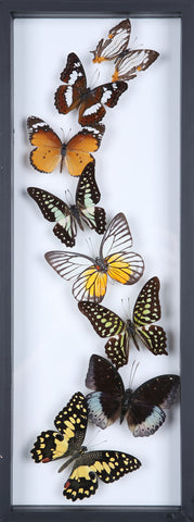 Framed Butterflies | Tall See-through Glass Frame | No.11-F020 - Natural History Direct Online Shop