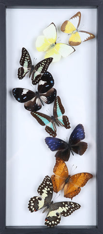 Framed Butterflies | Tall See-through Glass Frame | No.11-F021 - Natural History Direct Online Shop